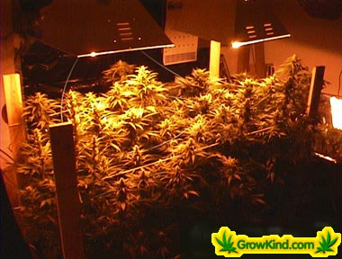 Picture of Marijuana Garden