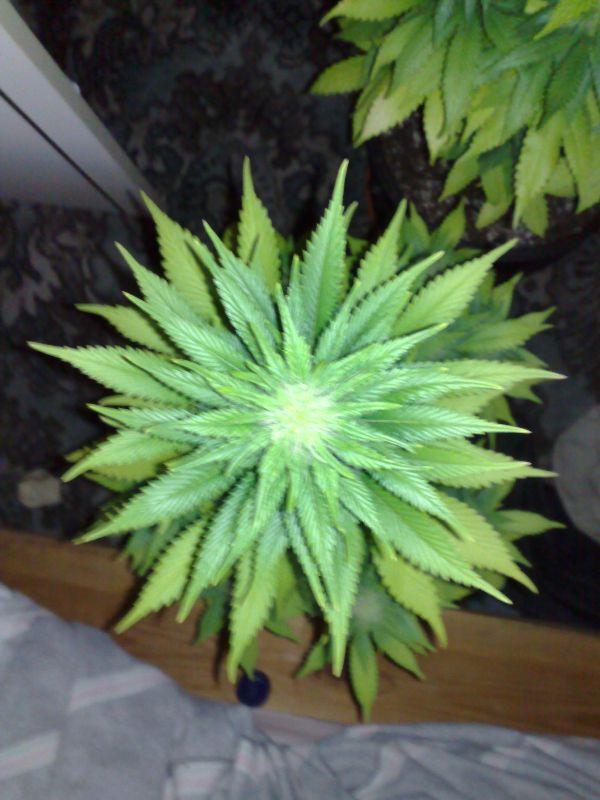 14 Weeks 4 Weeks Flowering Wardrobe Closet Grow Marijuana