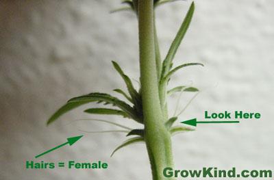 Clark rockin how to sex marijuana plants